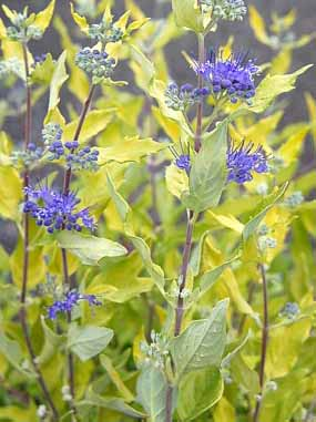 Caryopteris Worchester Gold